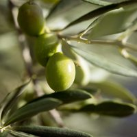 Naturkosmetik und Pflanzen Extrakte mit DMSO und Olivenöl